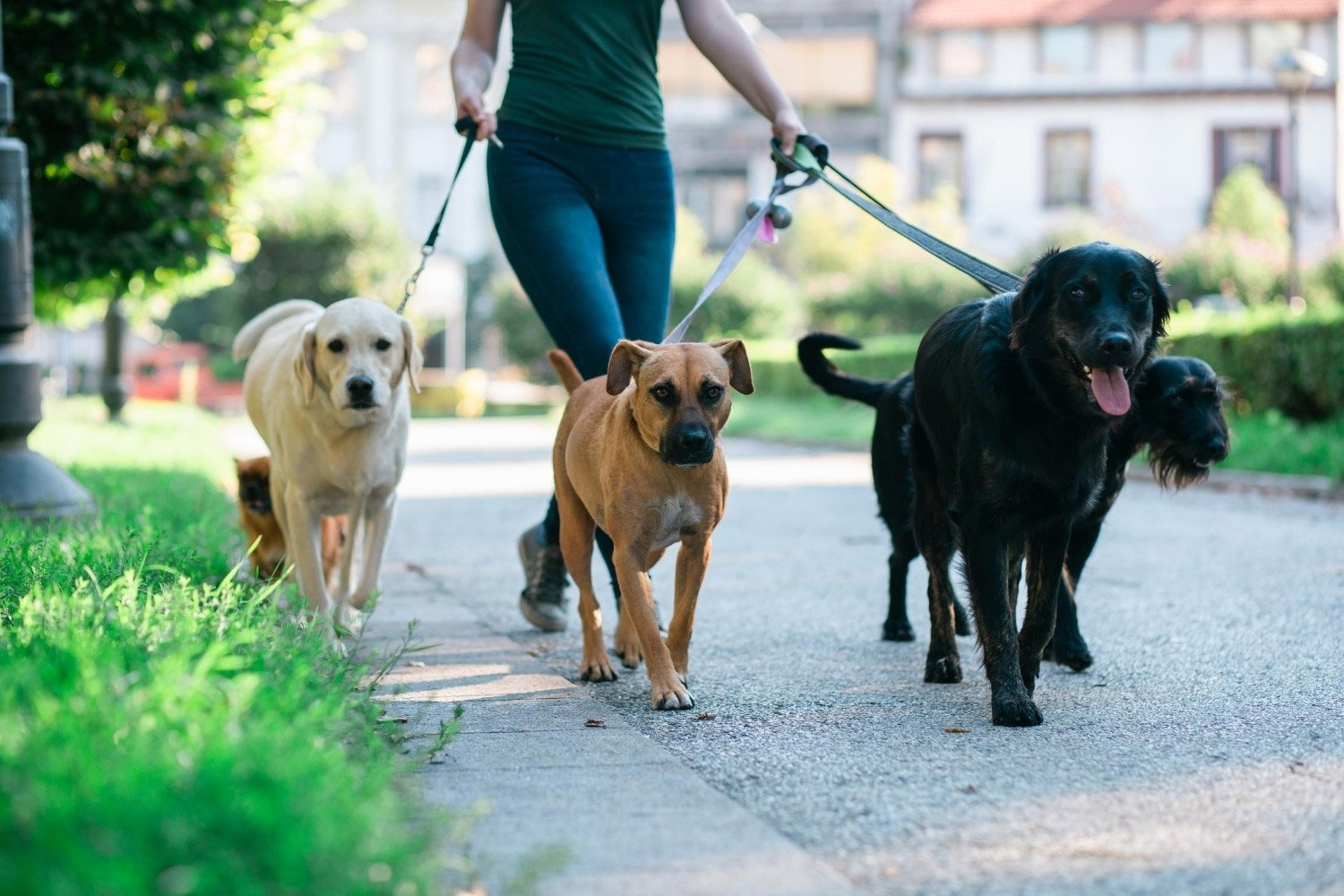 dog-walker-with-four-dogs